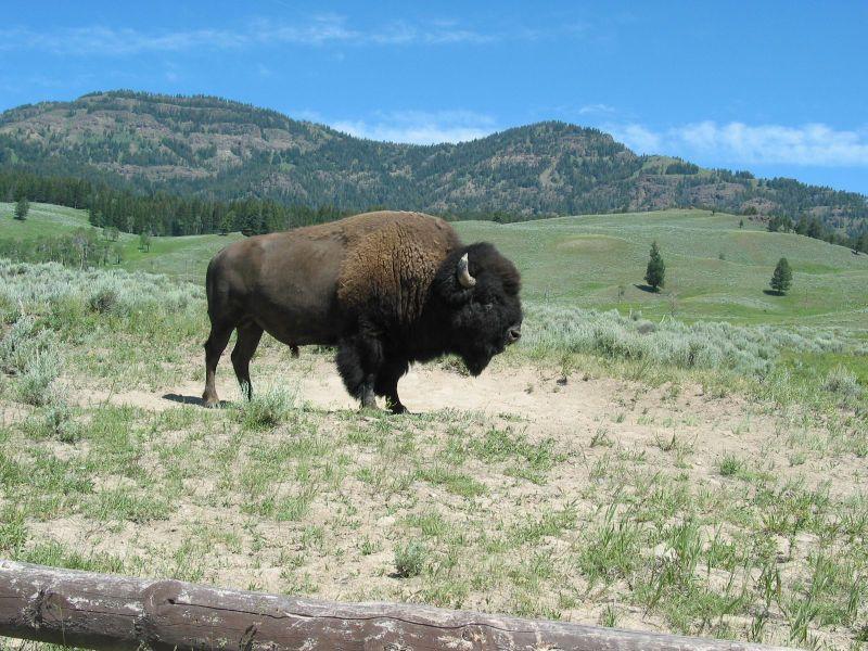 Buffalo/Bison Meat
